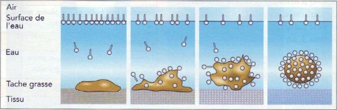 schéma mycelle et tache.jpg